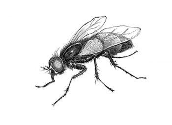 Illustration: fly