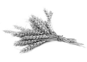 Sheaf of barley - giving of Torah